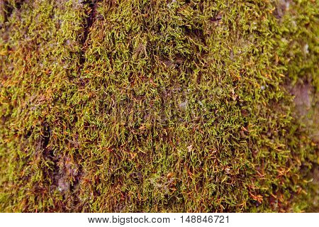 yellow moss on wood texture or background