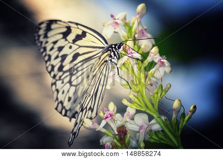 Paper Kite Rice Paper (Idea leuconoe) black and white butterfly
