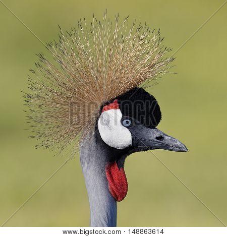 Closeup Of Gray Crowned Crane