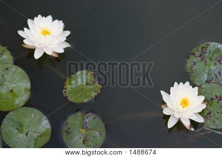 Two White Lotuses