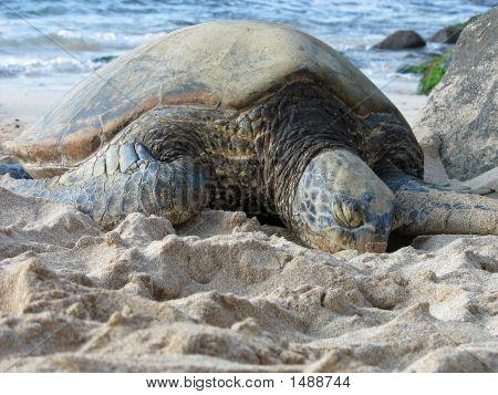 Sleeping Sea Turtle