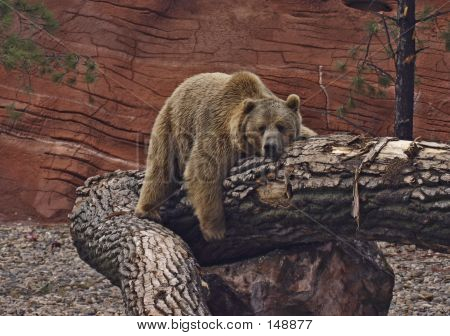 Resting Grizzly Bear