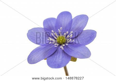Hepatica nobilis spring, flower on a white background