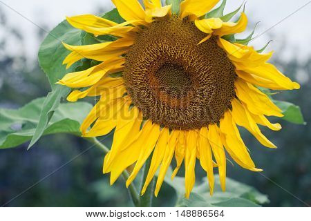 Bright Yellow Flower Of A Sunflower On Industrial Agriculture Farmer Field For The Production Of Liquid Vegetable Oil, Regrowing Raw Materials, Food Production Industry, Profitable Summer Flowers