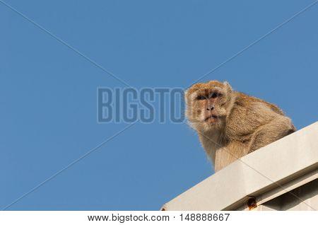 monkey with blue sky background .monkey .