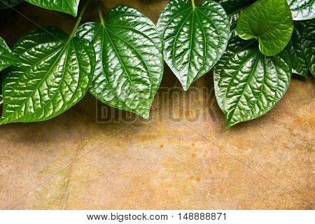 Leaves of Piper sarmentosum beside the stone slab floor