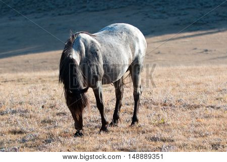 Wild Horse Blue Roan colored Band Stallion on Sykes Ridge above Teacup Bowl in the Pryor Mountains in Montana - Wyoming USA.