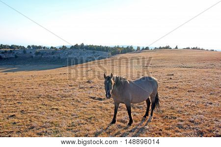 Wild Horse Grulla Gray colored Mare on Sykes Ridge above Teacup Bowl in the Pryor Mountain wild horse range in Montana USA.