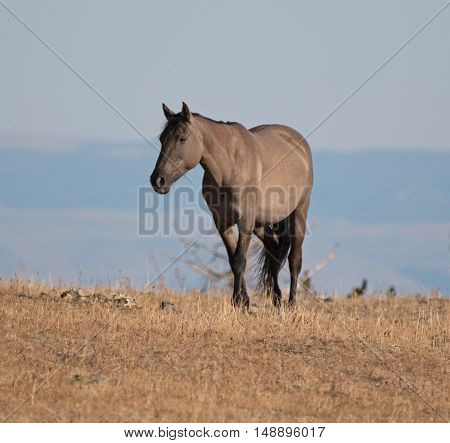 Wild Horse Grulla Gray colored Mare glowing in the afternoon sun on Sykes Ridge above Teacup Bowl in the Pryor Mountains in Montana - Wyoming USA. poster