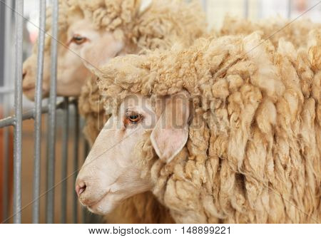 Sheeps in corral