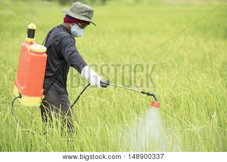 Farmer spraying on green rice field asia