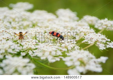 small garden red insect enjoys white flower