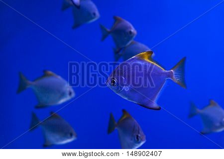 The tropical fish with yellow fins in the aquarium.