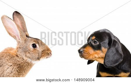 Portrait of rabbit and puppy breed Slovakian Hound, closeup, isolated on white background