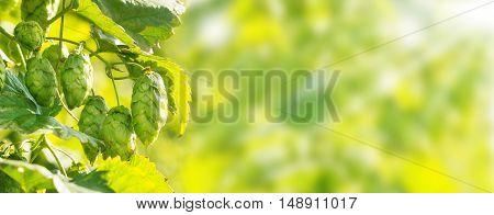 hop plants as closeup with bokeh as panoramabild