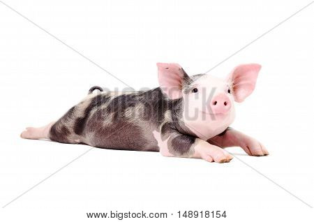 Portrait of a funny little pig, lying with legs outstretched, isolated on white background