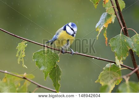 tit sitting on the branch of a birch in autumn Park during a rain
