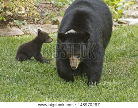 A collared mama black bear on a neighborhood lawn with one of her three small cubs on a sunny spring day