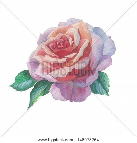 Wildflower rose flower in a watercolor style isolated. Full name of the plant: rose, hulthemia, hesperrhodos, rosa. Aquarelle flower could be used for background, texture, pattern, frame or border.