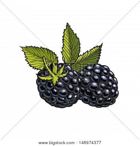 Ripe black dewberry, realistic drawing vector illustration isolated on white background. Dewberries or wild black raspberries on white background, botanical illustration, design element