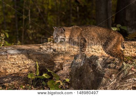 Bobcat (Lynx rufus) Poses on Log - captive animal