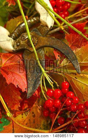 ripe viburnum with pruner close up photo