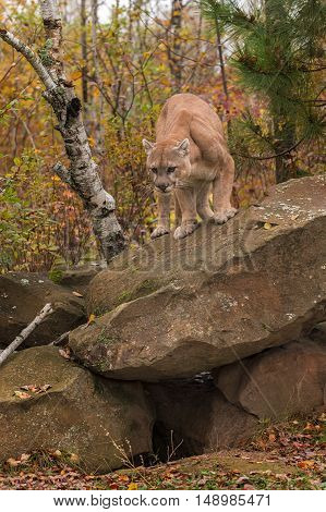 Adult Male Cougar (Puma concolor) Looks Down From Atop Rock - captive animal