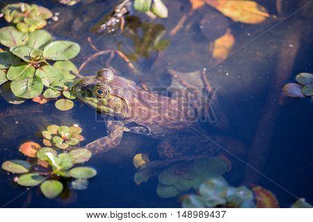 American Bullfrog - Lithobates catesbeianus, camouflaged. Shot in Jordan Pond, Garin/Dry Creek Pioneer Regional Parks, San Francisco East Bay, California, USA.