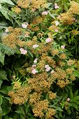 Spiraea japonica the Japanese meadowsweet or Japanese spiraea plant in the family Rosaceae low ornamental shrub with small pink flowers poster