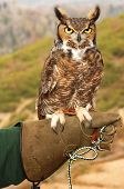 A Great Horned Owl perched on his handler's glove poster