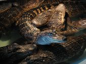 Group of menacing alligators intertwined at rest. poster