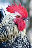 A profile of a rooster or cockerel with a red comb close-up poster