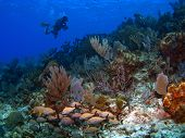 Dive Master on a reef in Cayman Brac poster
