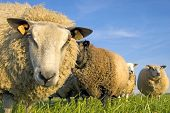 sheep on grass with blue sky looking at the camera poster