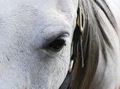 A partial frontal view of a grey Arabian mares face and eye, complete with a fly and halter buckle. poster