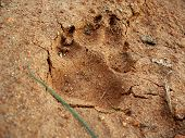 this is a dogs foot print in the wet mud that has hardened. poster