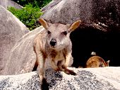Cute Wallaby on a boulder at Magnetic Island, far north Queensland, Australia poster