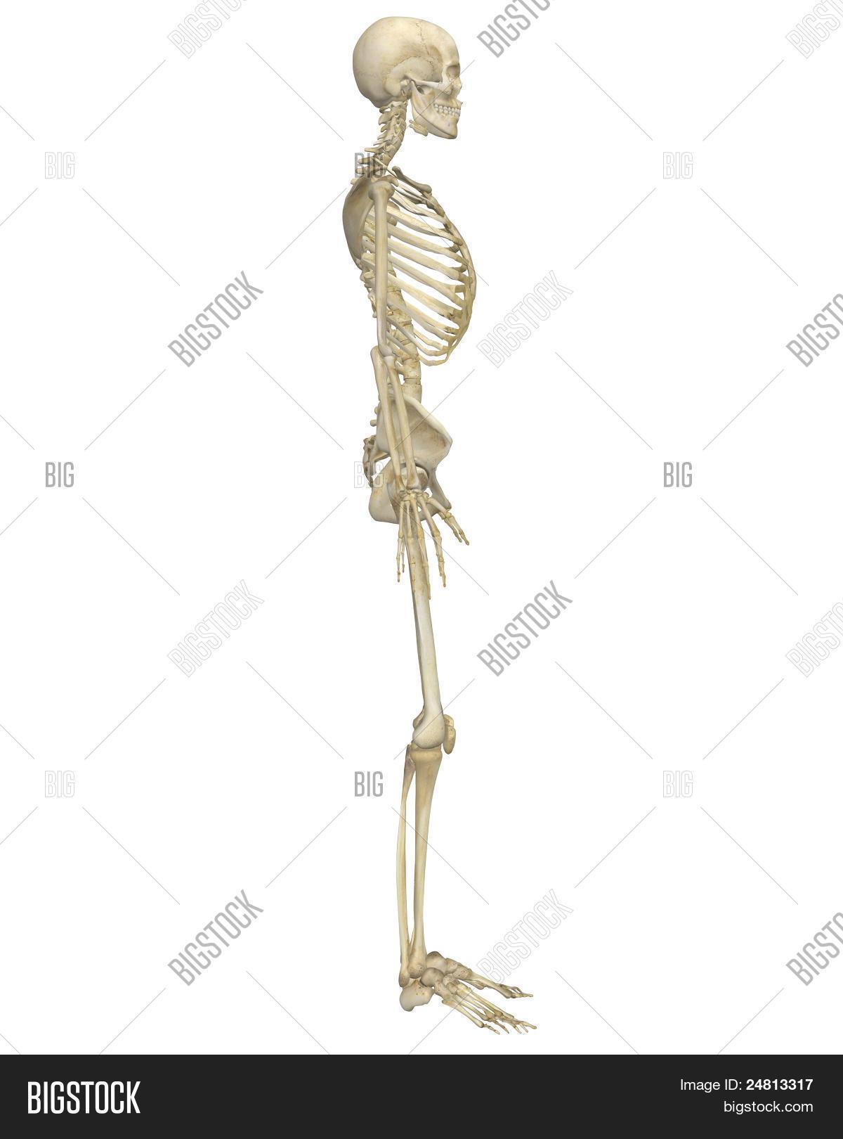 Großzügig Menschliche Skelett Seitenansicht Ideen - Menschliche ...