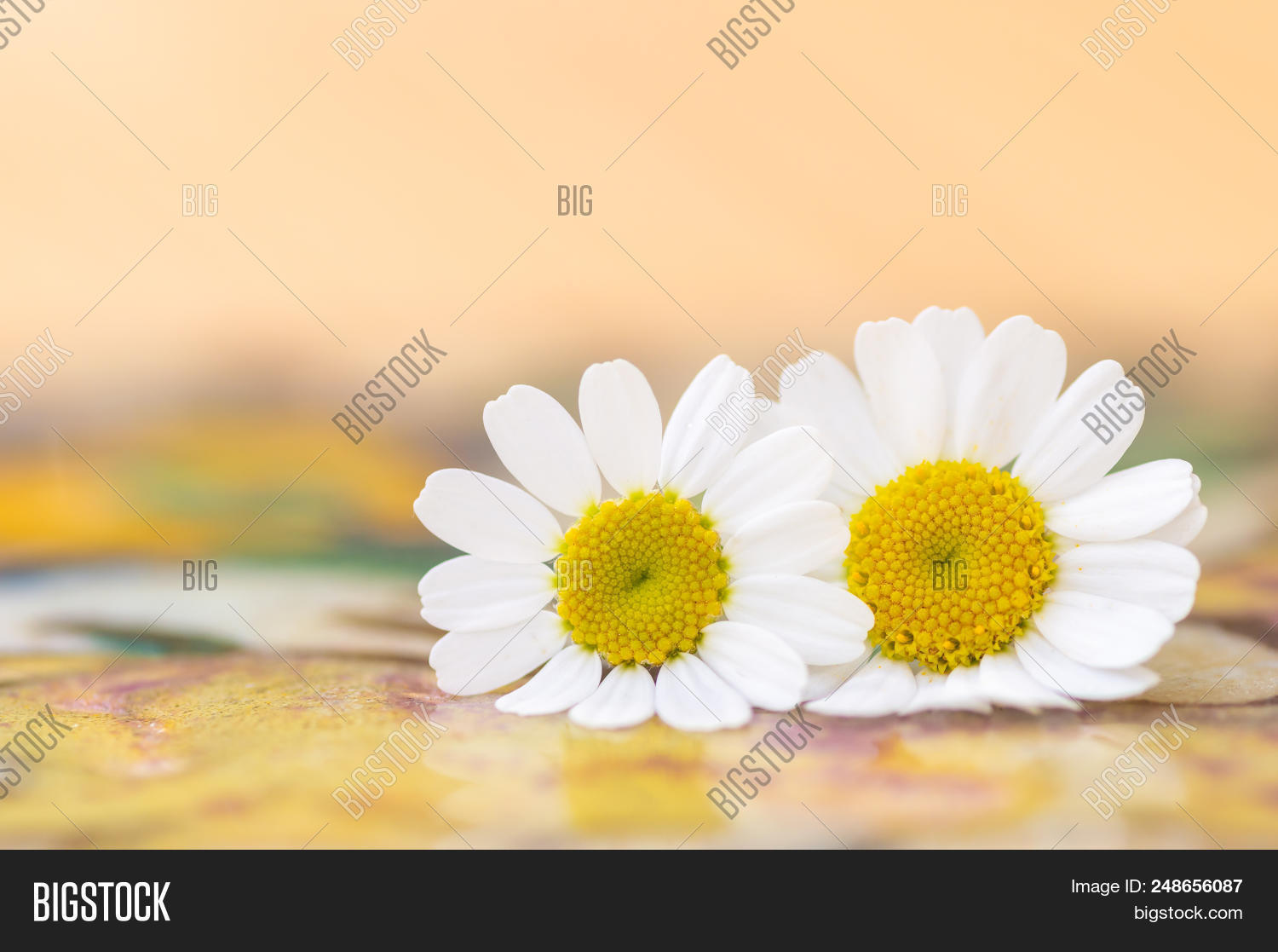 Feverfew flowers image photo free trial bigstock feverfew flowers close up detail of two daisy like flowers with a brightly lit colourful izmirmasajfo