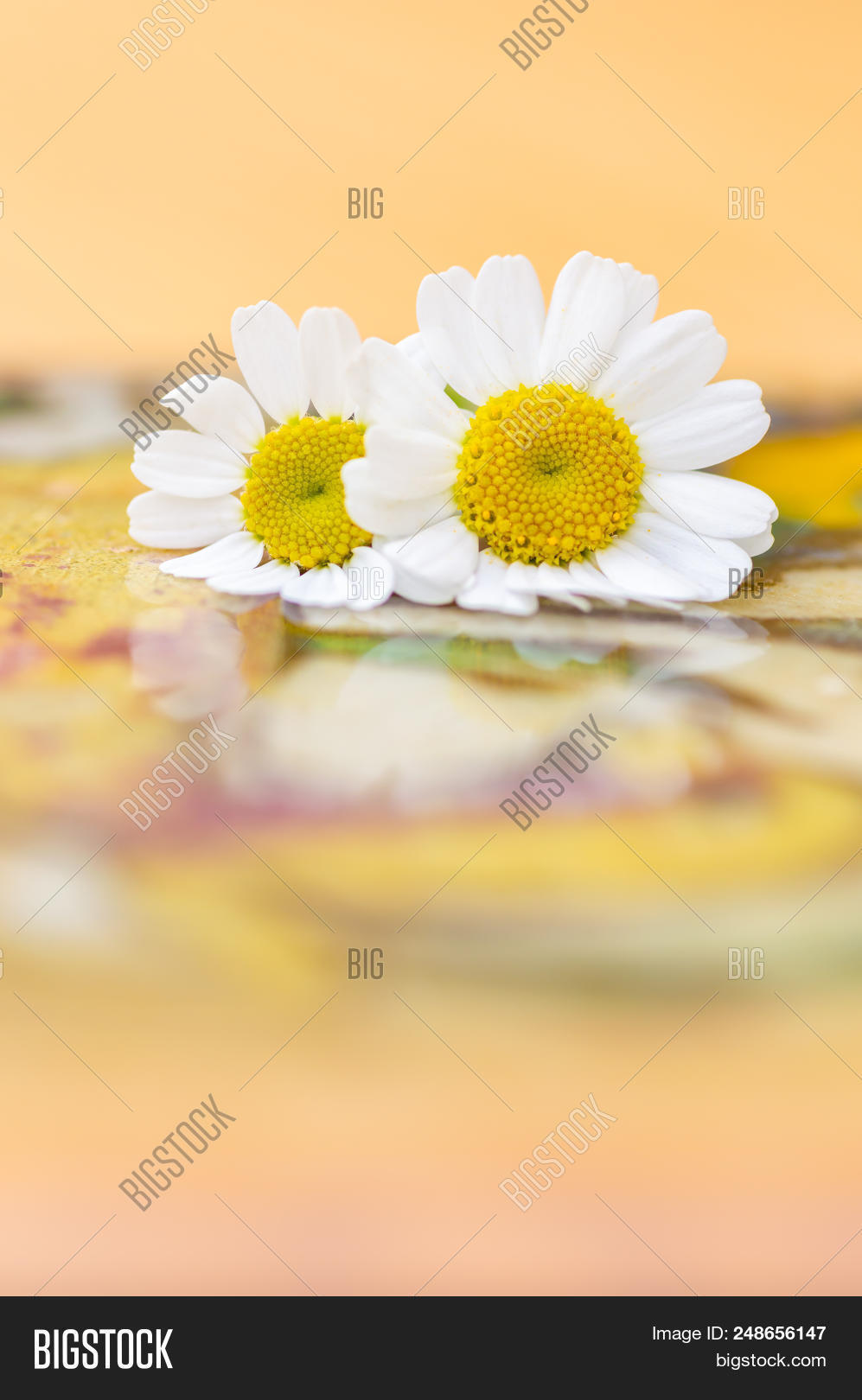 Feverfew flowers image photo free trial bigstock feverfew flowers close up of two daisy like flowers with a brightly lit colourful background izmirmasajfo