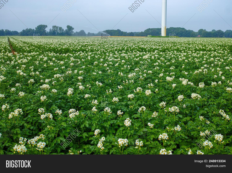 Blossoming Potato Image Photo Free Trial Bigstock