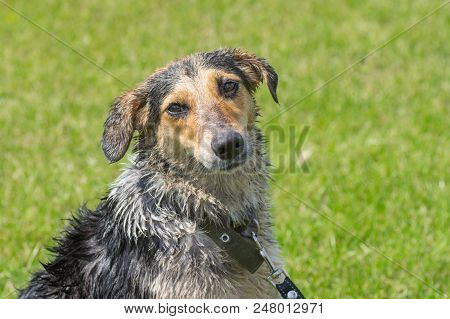 Outdoor Portrait Of Wet Cross Breed Of Hunting Dog Against Green Background