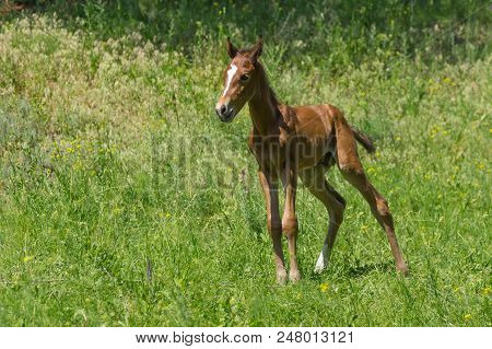 Portrait Of Young Curious And Lonely Foal On A Spring Pasture