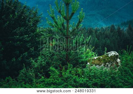 A Beautiful Mystic Mountain Forest. Pine Mystical Woods, Big Mossy Stone, Alpine Landscape.