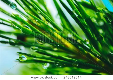 A Bright Evergreen Pine Tree Green Needles Branches With Rain Drops. Fir-tree With Dew, Conifer, Spr