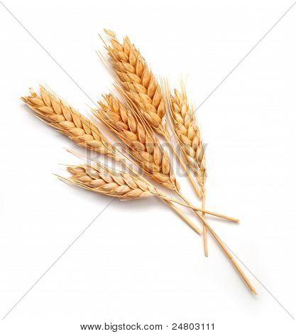Wheat Ears Isolated