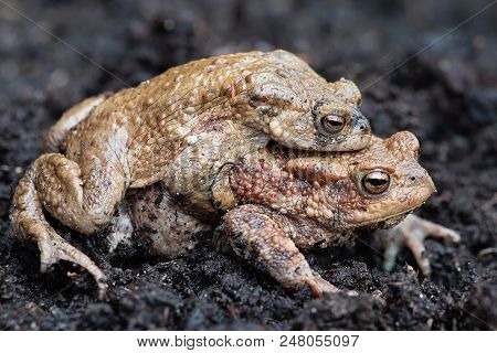 A Pair Of Common Toads Copulating On Soil With One On The Back Of The Other