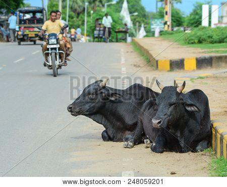 Bodhgaya, India - July 9, 2015. Sacred Cows On Street In Bodhgaya, India. Bodhgaya Is The Most Rever