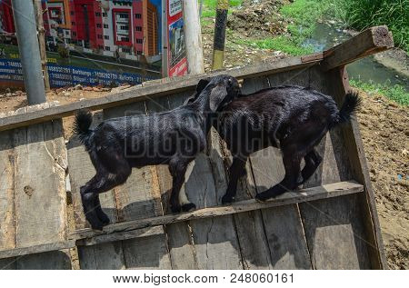 Bodhgaya, India - July 9, 2015. Black Goats Playing On Street In Bodhgaya, India. Bodhgaya Is The Mo