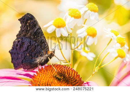 Close-up Of A Beautiful European Peacock Butterfly (aglais Io) Who Sits On A Purple Coneflower Flowe